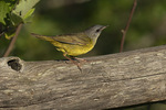 First-summer male Mourning Warbler (Geothlypis philadelpia) in late June.