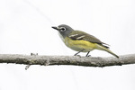 Blue-headed Vireo (Vireo solitarius) in late June.