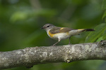 Immature male American Redstart (Setophaga ruticilla) in late June. Russell, St. Lawrence County, New York.