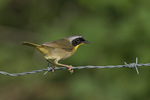 Male Common Yellowthroat (Geothlypis trichas) in late June. Russell, St. Lawrence County, New York.