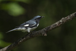 Male Black-throated Blue Warbler (Setophaga caerulescens) in mid-June.