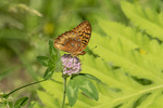 Great Spangled Fritillary (Speyeria cybele) in late June.