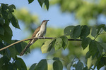 Adult Black-billed cuckoo (Coccyzus erythrothalmus) in mid-June.