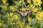 Eastern Tiger Swallowtail (Papilio glaucus) in flowering Cup Plant (Silphium perfoliatum) in early August.