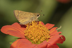 Female Sachem (Atalopedes campestris) nectaring on Mexican Sunflower in mid-July.