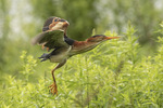 Adult male Least Bittern (Ixobrychus exilis) in flight in mid-July.