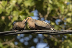 Mourning Doves (Zenaida macroura) adult male feeding juvenile in mid-July.