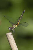 Female Blue Dasher (Pachydiplax longipennis) in obelisk position in late July.