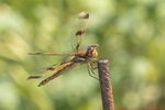 Female Painted Skimmer (Libellula semifasciata) in late July.