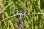 Male Eight-spotted Skimmer (Libellula forensis) in mid-July.