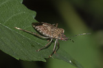 Brown Marmorated Stink Bug (Halyomorpha halys) in mid-August.