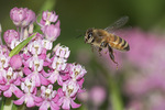 Honeybee (Apis mellifera) in flight in early August.