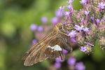 Silver-spotted Skipper (Epargyreus clarus) nectaring on verbena in early August.