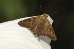 Silver-spotted Skipper (Epargyreus clarus) perched on Swamp Rose Mallow petal in early August.