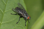 Flesh Fly (Sarcophaga species) in mid-August.