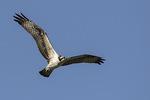 Immature Osprey (Pandion haliaetus) in flight in mid-August.