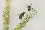 Greenbottle Flies (Lucilia species) on mint in early August.