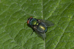 Greenbottle Fly (Lucilia species) in mid-August.