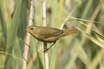 Common Yellowthroat (Geothlypis trichas) in mid-August.