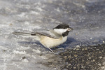 Black-capped Chickadee (Poecile atricapillus) foraging on the ground for spilled sunflower seeds in mid-January.