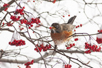 American Robin (Turdus migratorius) eating a Hawthorn berry in mid-December.