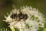 Black-shouldered Drone Fly (Eristalis dimidiata) on White Snakeroot (Ageratina altissima) in mid-September.
