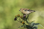 Immature male American Goldfinch (Spinus tristis) in mid-September.
