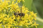 Narrow-headed Marsh Fly (Helophilus fasciatus) on Showy Goldenrod (Solidago speciosa) in mid-September.