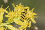 Spotted Cucumber Beetle (Diabrotica undecimpunctata) in Showy Goldenrod (Solidago speciosa) in mid-September.