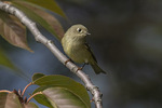 Ruby-crowned Kinglet (Regulus calendula) on fall migration in mid-October.