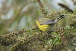 First-fall Magnolia Warbler (Setophaga magnolia) in early October on fall migration.