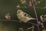 Hatch-year female American Goldfinch (Spinus tristis) in mid-October.