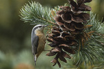 Female Red-breasted Nuthatch (Sitta canadensis) on pine cone in mid-October.