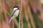 Hatch-year Black-capped Chickadee (Poecile atricapillus) in late October.