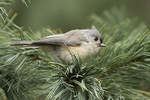 Tufted Titmouse (Baeolophus bicolor) in early November.