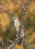 Female Red-bellied Woodpecker (Melanerpes carolinus) in early November.