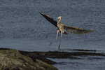Immature Great Blue Heron (Ardea herodias) in flight in early November.