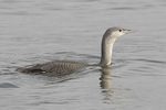 First-winter Red-throated Loon (Gavia stellata) in mid-November.