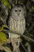 Barred Owl (Strix varia) in early November.
