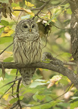 Barred Owl (Strix varia) roosting in early October.