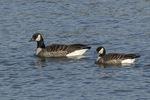 Cackling Goose (Branta hutchinsii) at left in mid-November.