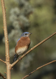 Immature male Eastern Bluebird (Sialia sialis) in late November on fall migration.