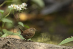 Winter Wren (Troglodytes hiemalis) in late September on fall migration.