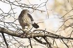 Immature female Cooper's Hawk (Accipiter cooperii) with prey in late November.