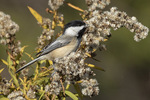 Black-capped Chickadee (Poecile atricapillus) foraging in goldenrod in late November.
