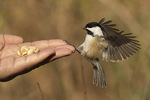 Black-capped Chickadee (Poecile atricapillus) fed peanuts by hand in late November.