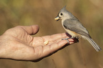 Tufted Titmouse (Baeolophus bicolor) fed peanuts by hand in late November.