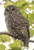 Barred Owl (Strix varia) at a day-time roost in late November.