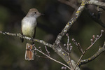 Ash-throated Flycatcher (Myiarchus cinerascens), a rare vagrant, in late November.