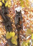 Great Horned Owl (Bubo virginianus) roosting in oak in late November.